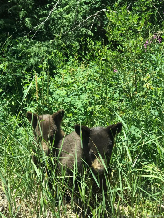 Bears in your back yard